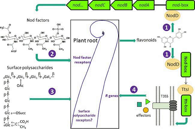 • Biochemistry of rhizobial chemotaxis