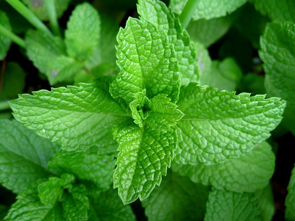 Mint's strong odour helps open blocked airways, allowing relaxed breathing.