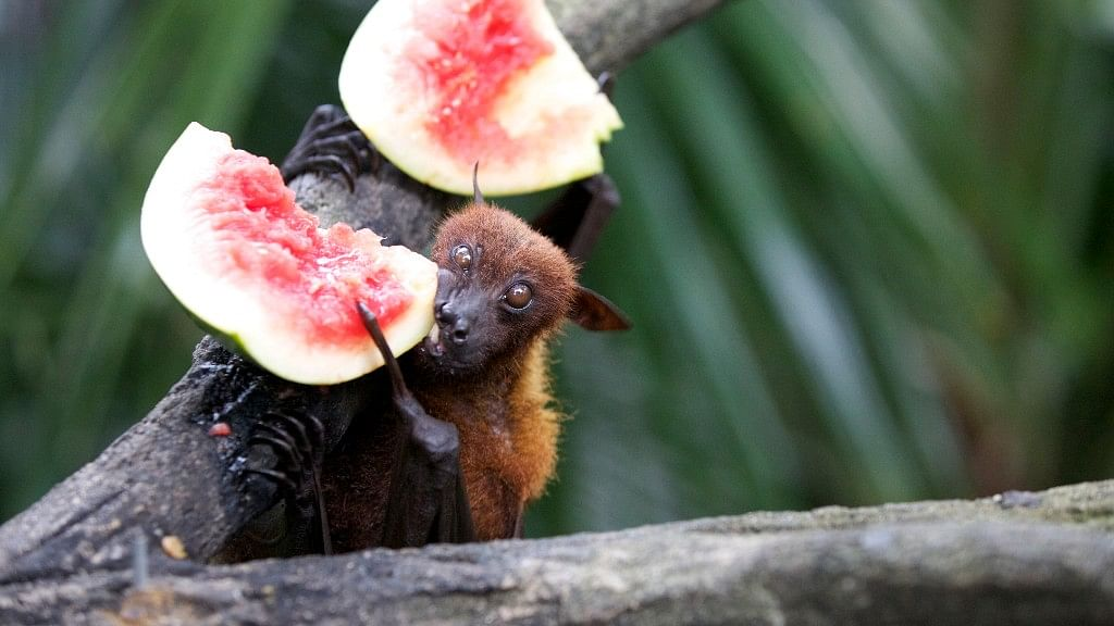 The natural host of the Nipah virus are fruit bats.