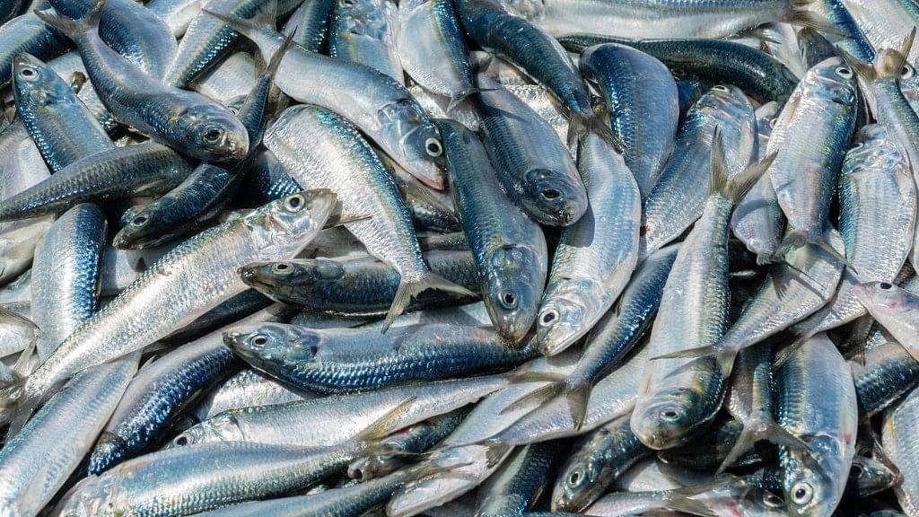 Fish Mucus Offers Potential New Antibiotics