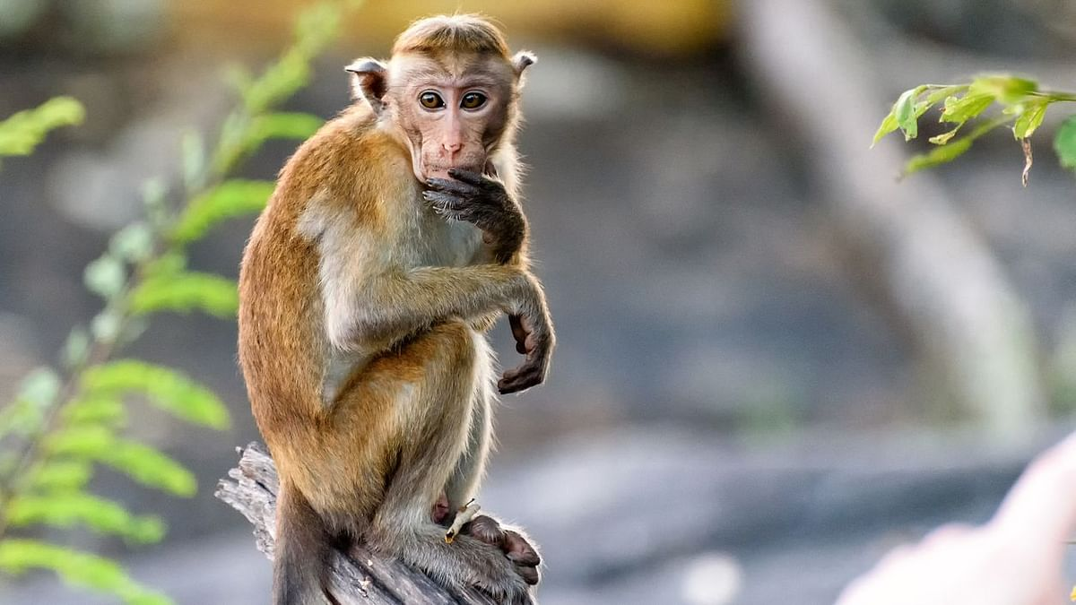 Kyasanur Forest Disease (KFD) or monkey fever scare has reached Bengaluru.