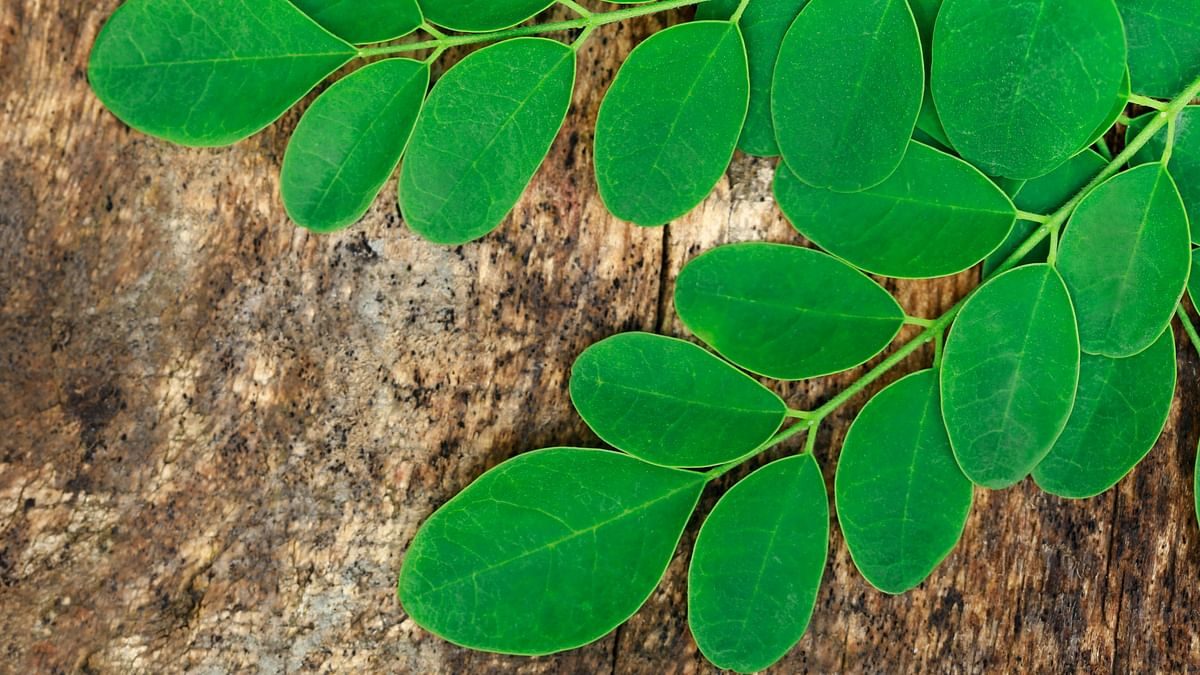 Moringa leaves are the most nutritional part of the plant, with an impressive nutritional profile consisting of Vitamins A, B, C, K.