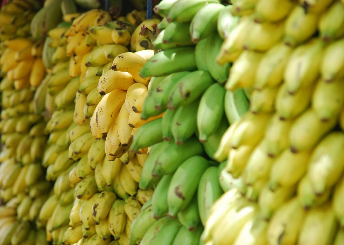 Banana: The Plant With A Thousand Uses