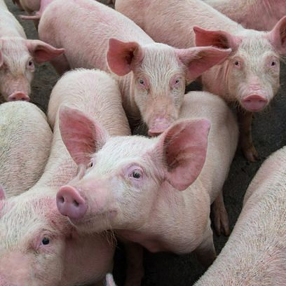 The Swine Flu Virus In China That Has People Worried