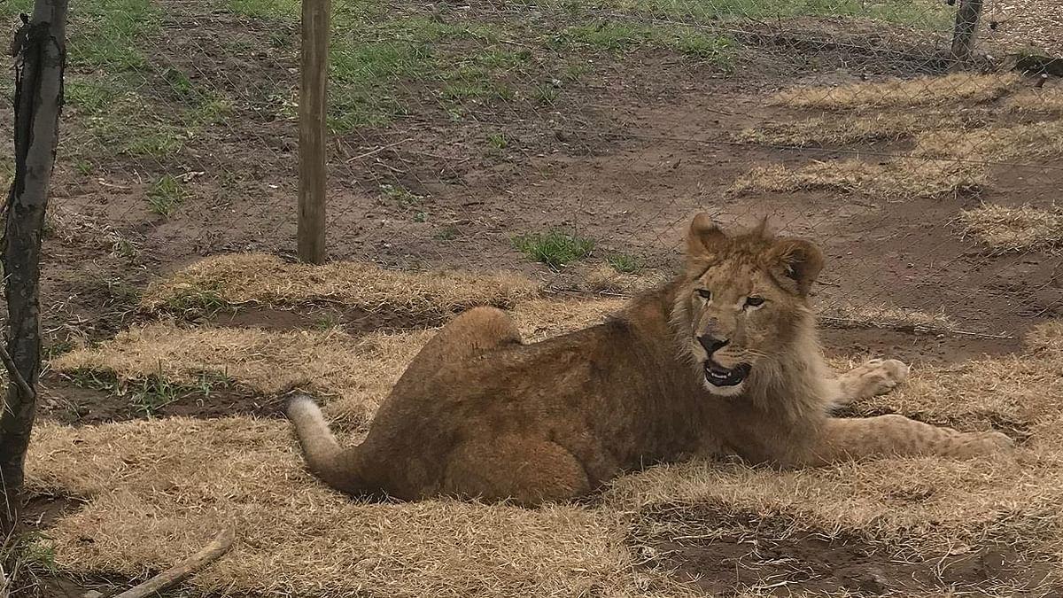 Turkish Cargo Transports Circus Lions Back to  Natural Habitat