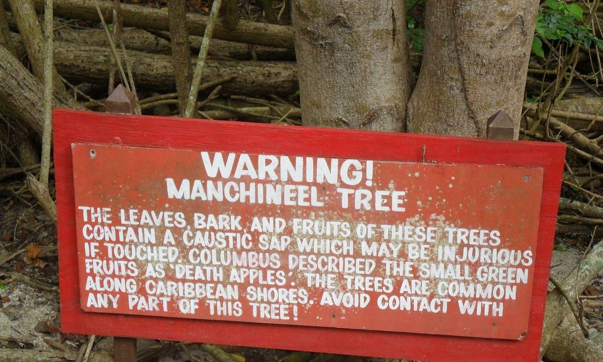 आइये जानते हैं ,दुनिया के किस कोने में छिपा है विश्व का सबसे जहरीला पेड़