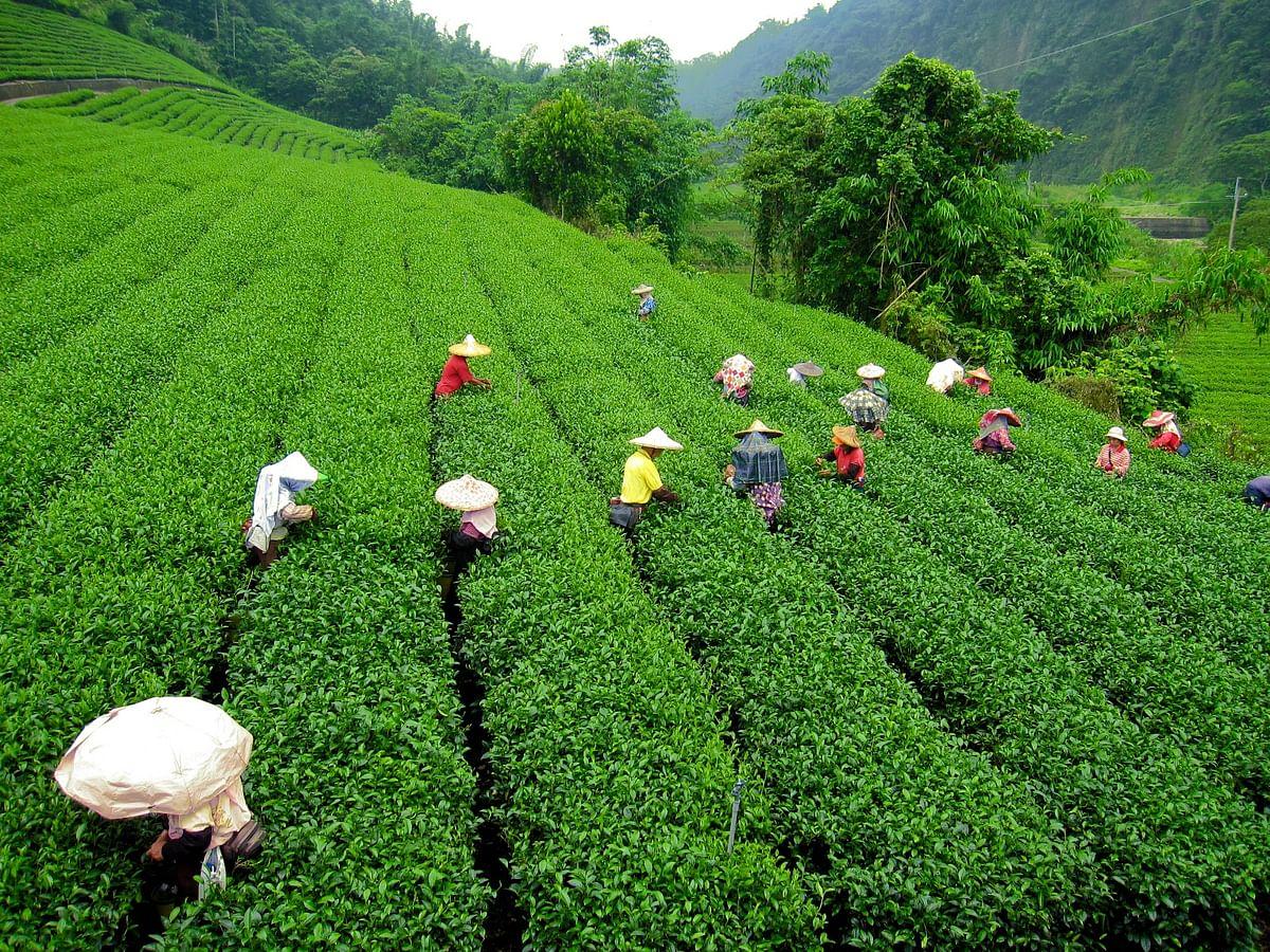 चाय निर्यातक संघ