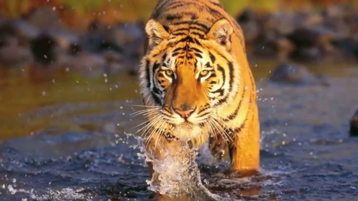 Leopard Terror In Banda-Mahoba