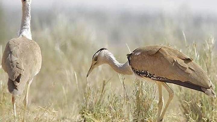 Sonchiraiya Bird