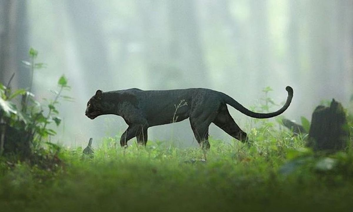 Black Panther in kabini forest