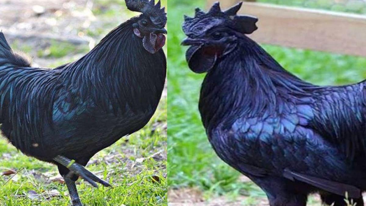 मुर्गा जिसकी काली रंगत ने उसके जीने पर पाबंदी लगा दी, पैसे कमाने के लिए सज रही मंडियां