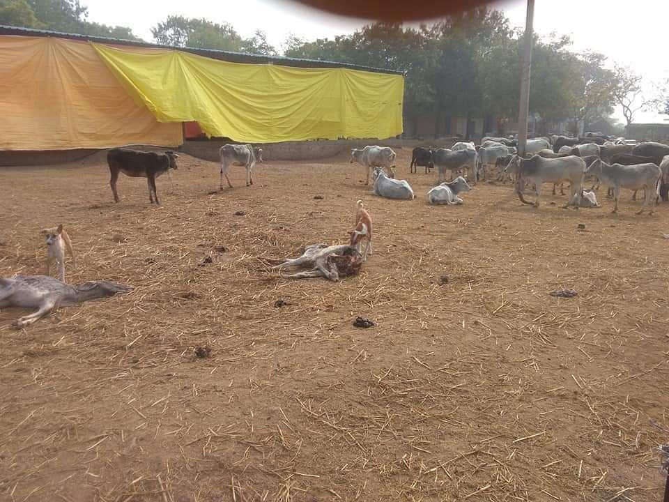 थाना पहाड़ी ग्राम इटौरा में चलाई जा रही गौशाला में बछड़ों को खाते हुए आवारा कुत्ते।