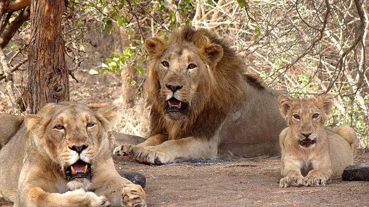जानवरों में भी फ़ैल रहा है कोरोना, हैदराबाद के एक चिड़ियाघर मे 8 शेर कोरोना पॉजिटिव
