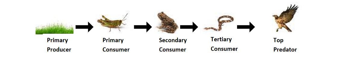 Fig. : A Food Chain in Grassland Ecosystem