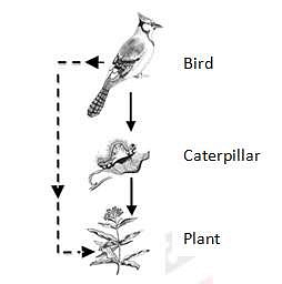 An example of Trophic cascade, in which the predator (bird) has a positive effect on the basal species (plant) via reduction in the abundance of the herbivore (caterpiller).