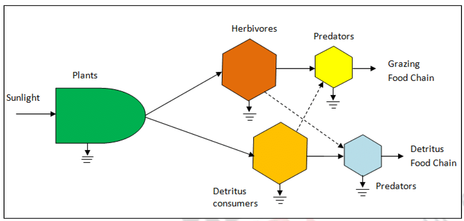 • The Y-shaped energy flow model showing linkage between the grazing and detritus food chain.