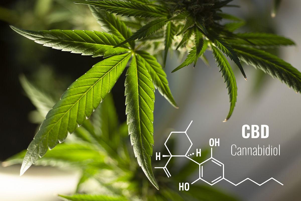 Leaves Cannabis Plant Herbal
