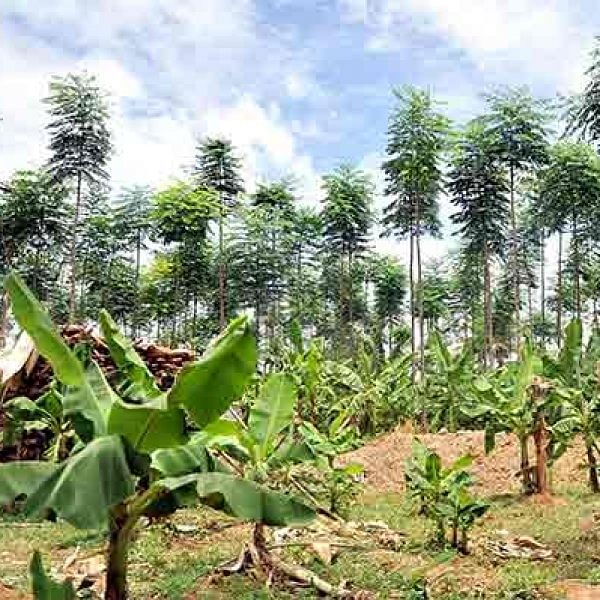 Malai vembu can earn you Rs.12.5 Lacs per acre in 7 Years..!