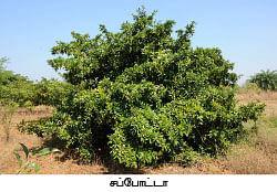 மா... நெல்லி... கொய்யா... சப்போட்டா...