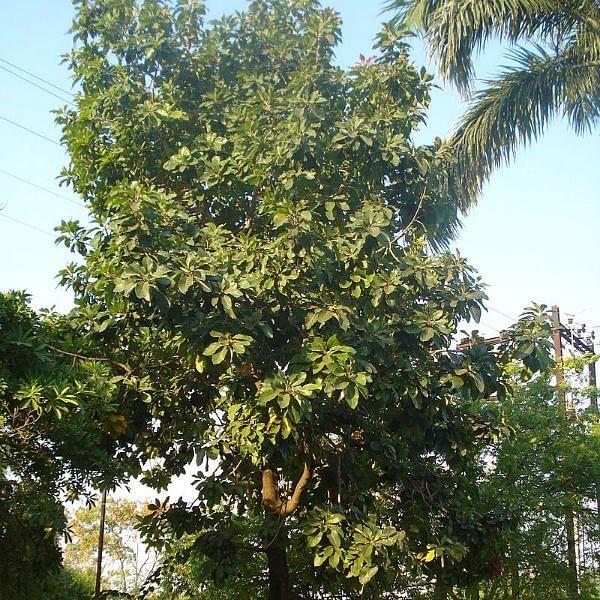 140 கிலோ சர்க்கரை... 60 கிலோ எரி சாராயம்... இலுப்பை மரத்தின் அற்புதங்கள்!