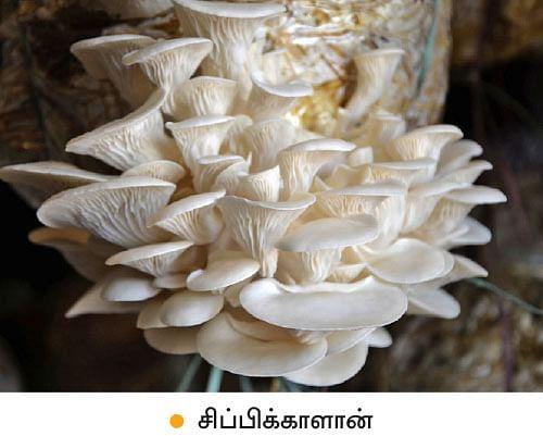 மாதம் ரூ.1,44,000... 'பலே' வருமானம் கொடுக்கும் பால்காளான்!