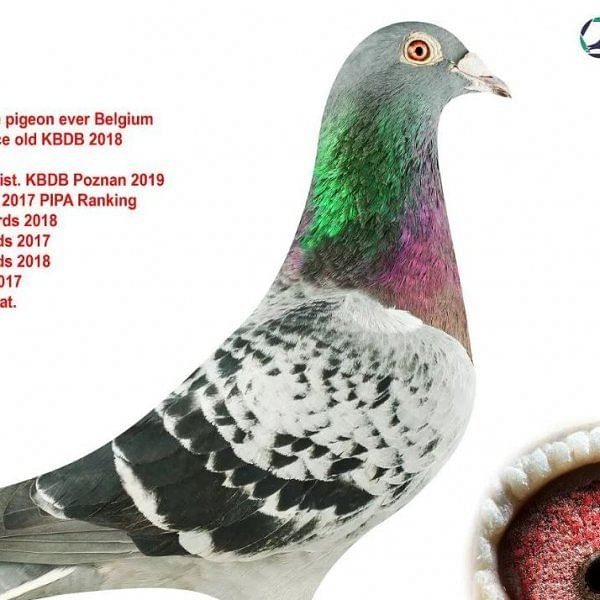 உலக வரலாற்றில் 9.7 கோடிக்கு ஏலம் போன பெல்ஜியம் புறா!
