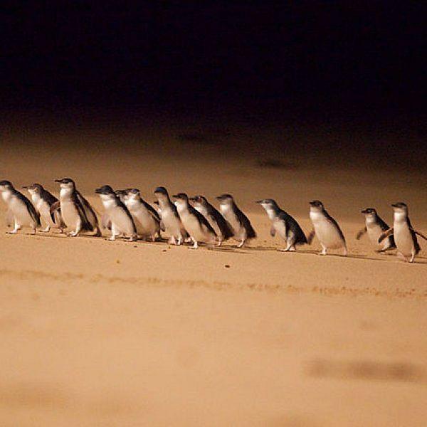 மக்களை வீழ்த்தி தங்கள் நிலத்தை மீட்ட பென்குயின்கள்... இது ஆஸ்திரேலியாவின் ஃபிலிப் தீவின் கதை!