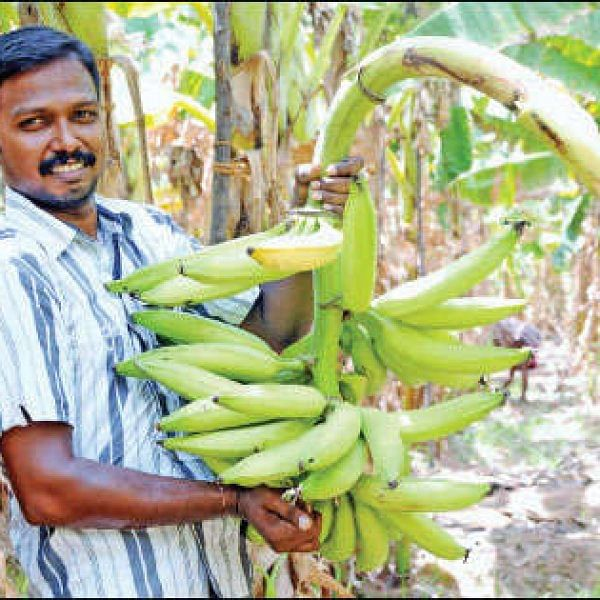 ₹3 lakhs in 10 months from an acre... Assured income from Nendhran variety!