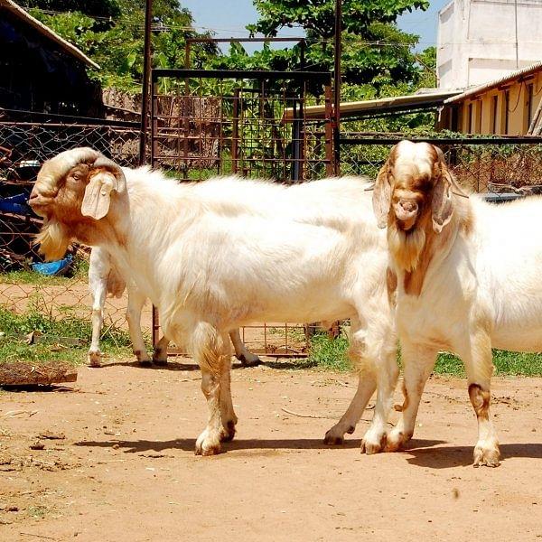 50 lakhs within 4 years through Thalachery, Sirohi and Boer goats..!