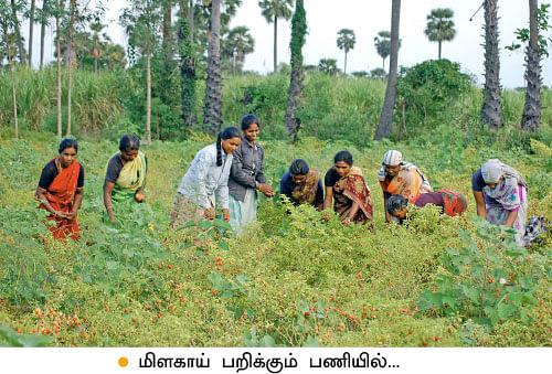 குண்டு மிளகாய்...ஏக்கருக்கு ரூ50 ஆயிரம்!