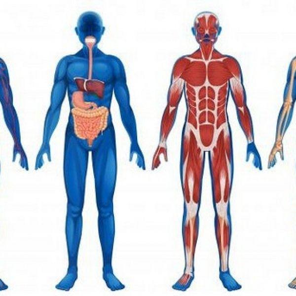 Strengthening of internal organs, from brain to intestine!