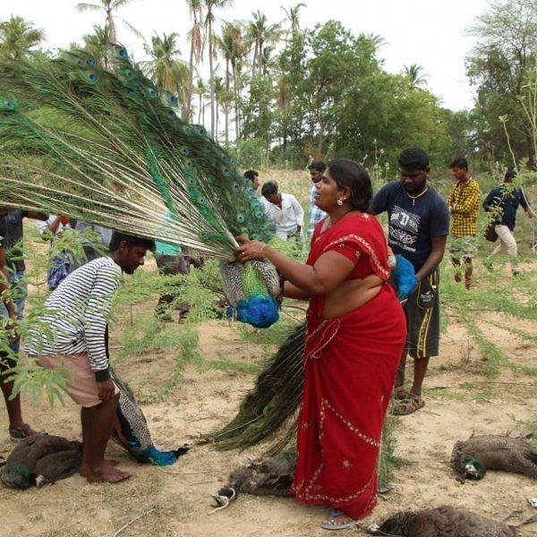 மதுரையில் இறந்த 43 மயில்கள்... ரியல் எஸ்டேட் வளர்ச்சி காரணமா?!