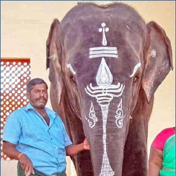 சமயபுரம் யானை மசினிக்கு திடீர் உடல்நலக்குறைவு!