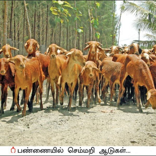 Annual income of ₹10,00,000 from 200 livestock... Wonderful returns from goats!