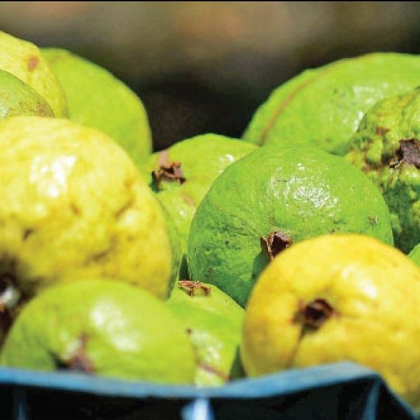 ₹4 lakhs per annum... Natural guava that sustains in spite of drought..!