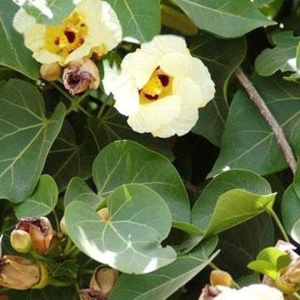 அனைத்து வகை தோல் நோய்களுக்கும் அருமருந்தாகும் பூவரச மரம்!