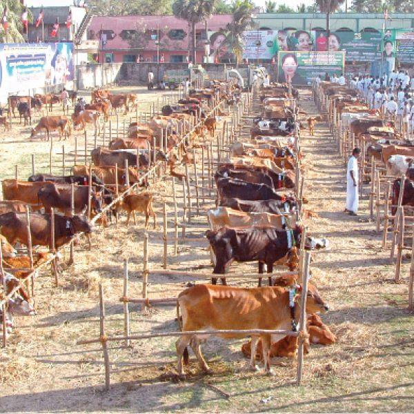 RTI அம்பலம்: வீணாகப் போனதா விலையில்லா கால்நடைகள்? - 4 % பேர்கூட பயன்பெறவில்லை