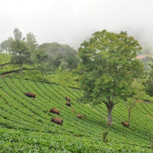 கடவுளின் எருமை, 100 கிளாஸ் டீ, கைக்காசு கெடுபிடி! நீலகிரியின் நிஜ நிலவரம்