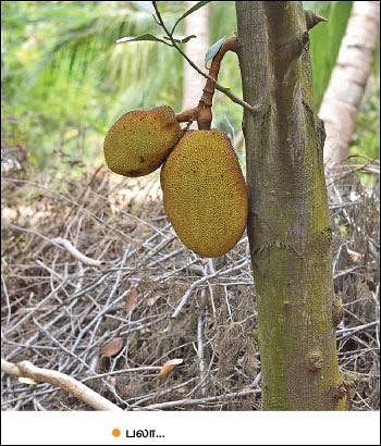 Mango, Lemon, Papaya, Jack, Coconut...Encouraging Income of ₹ 38,00,000 annually as intercrops!