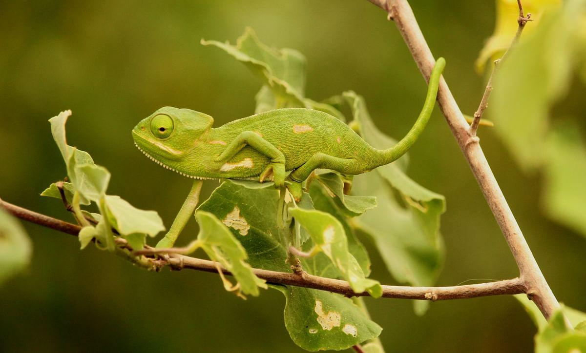 பச்சோந்திக் குட்டி (Chameleon)
