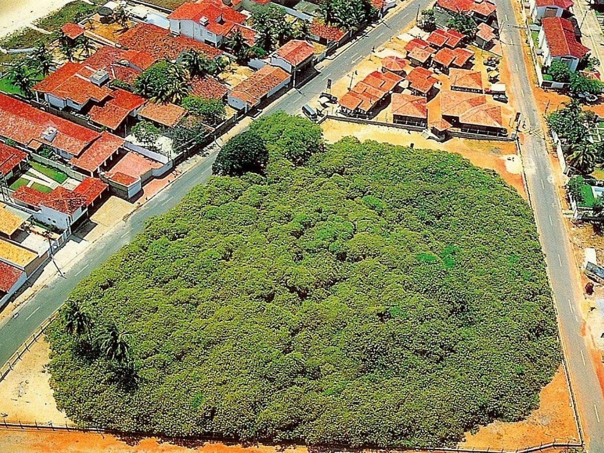 130 வயது... 2 ஏக்கர் பரப்பளவு... பிரேசிலின் அடையாளமான ஒற்றை முந்திரி மரம்!