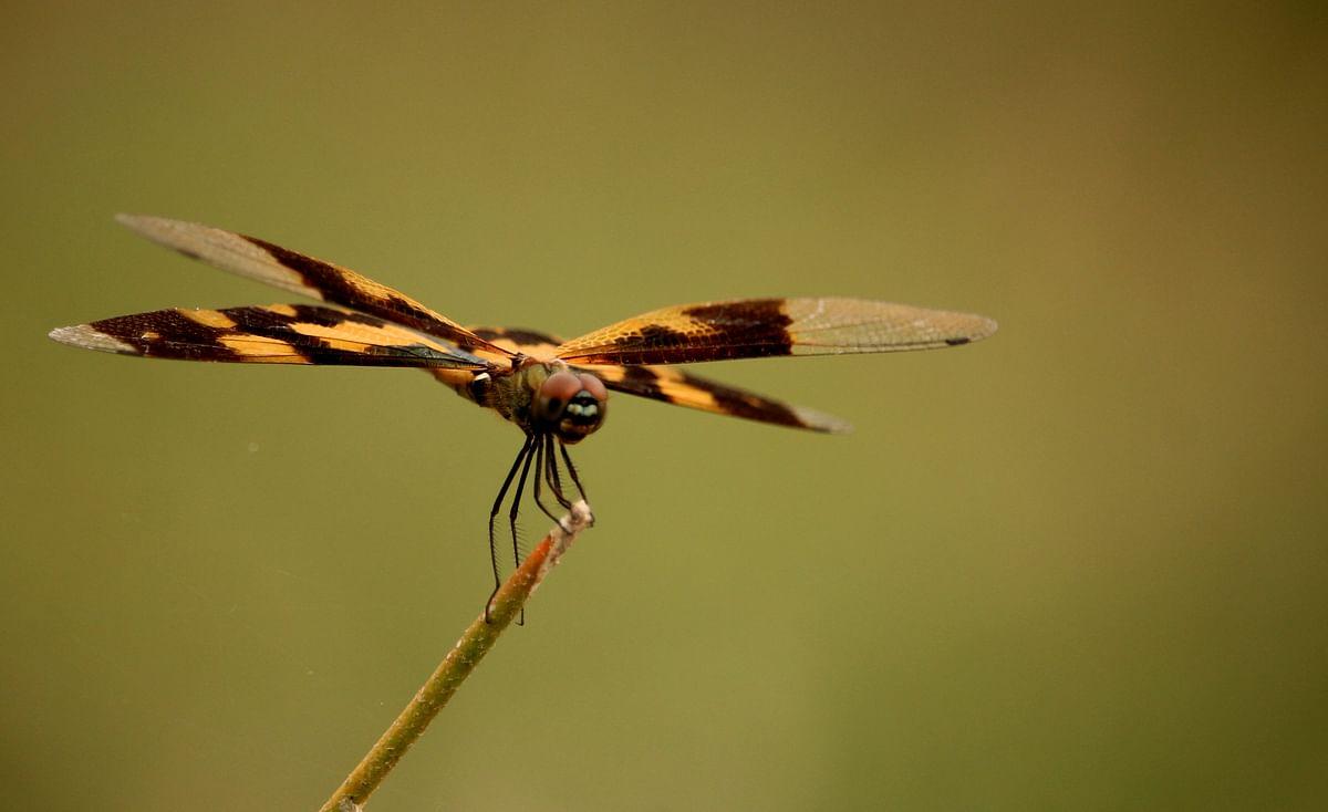ஓவியச் சிறகன் (common picture wing)