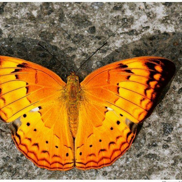 340 இனங்களில் மாநில வண்ணத்துப்பூச்சியாக அறிவிக்கப்பட்ட `தமிழ் மறவன்'!