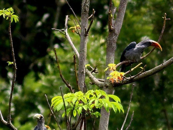 பறவைகளின் காதல் சின்னம்... மயக்குறச் செய்யும் மலபார் சாம்பல் இருவாச்சி! #ObserveNature