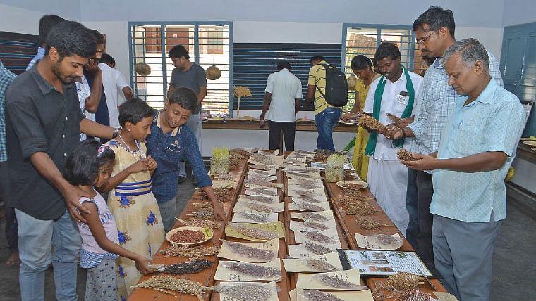 Traditional corn seeds