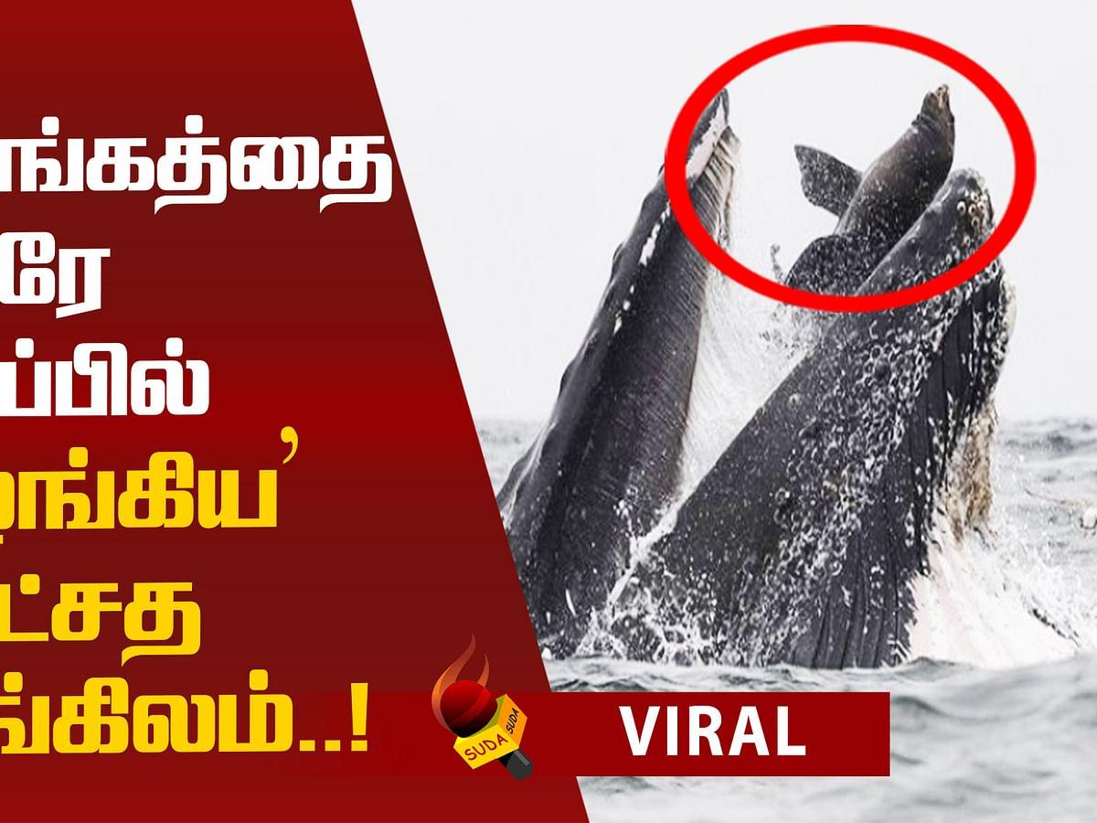 Whale Swallows sea lion! Viral Photograph!