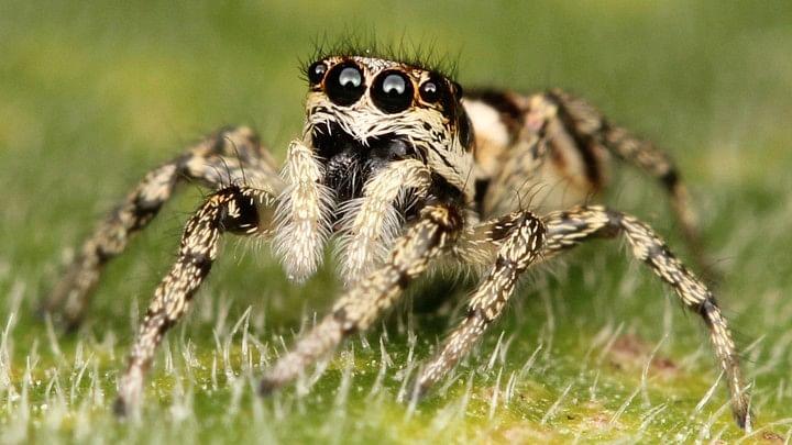 jumbing spider