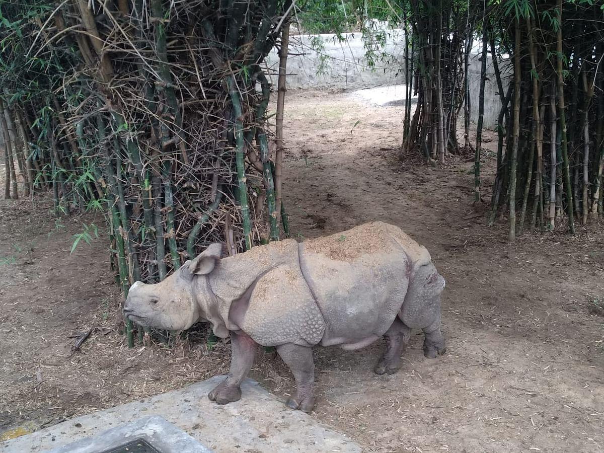 Rhinoceros, Vandalur Zoo