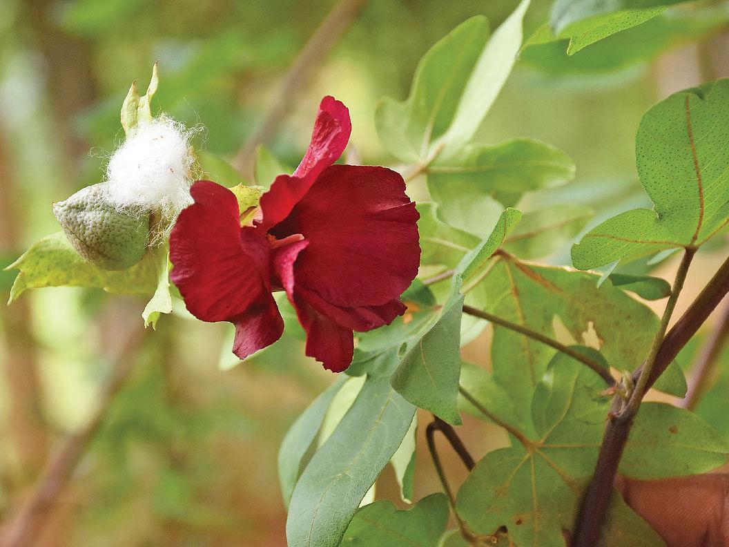 செம்பரத்தை