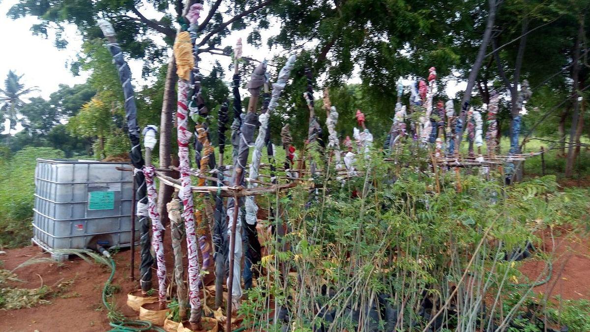 போத்து முறையில் மரக்கிளையில் இருந்து மரம்